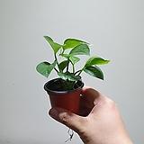 미니스킨답서스미니소품공기정화식물 07101710|