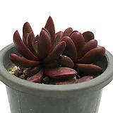 클라바타(클라바텀)|Pachyveria clavata
