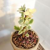 사랑무 수제분세트(외목수형으로 오래묵힌 귀요미) Handmade Flower pot