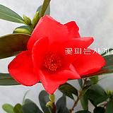사계동백(꽃대수형/10)-희귀한 동백품종으로 매혹적인 다홍빛 꽃을 사계절 피워준답니다~! 