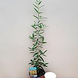 올리브나무(소품) 