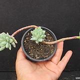 수빙   0101|Sedeveria cv. Supar brow
