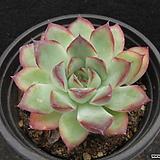 황홀한연꽃   0102|Echeveria pulidonis