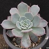 라우렌시스   0135|Echeveria Laulensis