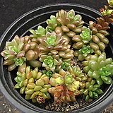 리틀쨈   0194|Cremnosedum Little Gem (Crassulaceae)