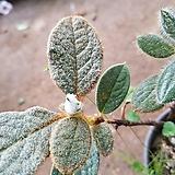 포포엽만병초1(단품)|