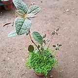 포포엽만병초2(단품)|