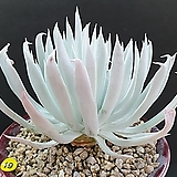 천녀검군생|Titanopsis calcarea