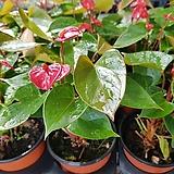 안시리움(중소품)|Anthurium andraeaeanum