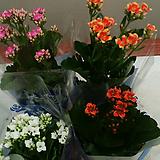 가랑코에.홑겹.꽃대.식탁에놓으면 예뻐요.4개..|