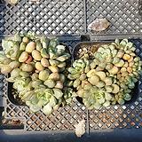 홍포도 7271|Graptoveria Ametum