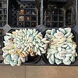 오렌지먼로 63|Echeveria Monroe(Orange)