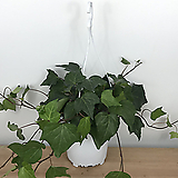 송악 / 아이비 / 노지월동가능 / 공기정화식물 / 한빛농원|Heder helix