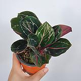 칼라데아로세오펙타 / 칼라데아 / 공기정화식물 / 한빛농원|