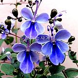 나비수국(외목꽃대소품)