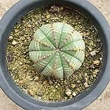 오베사 64|Baseball Plant (Euphorbia obesa)