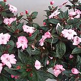 임파첸스.물봉숭아.연한투톤핑크꽃.꽃이 아주 예쁩니다.여름내내꽃이핍니다~.|