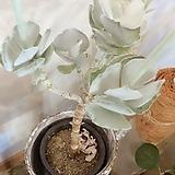 은파금 대품(오래된 목대와 뽀얀분이 매력적)도자기분 별도 Cotyledon undulata