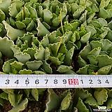 영락(소)|Adromischus cristatus var. clavifolius
