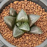 하월시아 블랙다이아몬드|haworthia