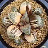 하월시아 레투사금 hyb|haworthia
