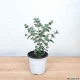 유칼립투스 / 유카리 / 공기정화식물 / 초특가/ 한빛농원|