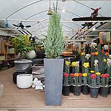 문그로우나무 초대형화분 정원수 조경수 상록수 실내외조경|