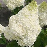 목수국 / 매직컬문라이트 / 유럽최신품종 / 꽃나무 / 정원꾸미기|Hydrangea macrophylla