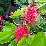 하와이자귀나무(중품)|