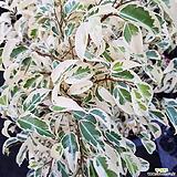 벤자민 화이트벤자민가지형  황금빛 한정판 20개 키약60~70cm 