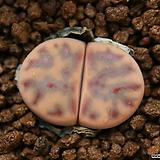 다49_ C326 dinteri ssp. multipunctata|