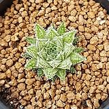 하월시아 어베이셔|haworthia