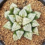 하월시아 Mosaic 모자이크|haworthia