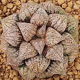 하월시아 COCORO 코코로|haworthia