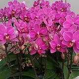 호접란(레드뮤).쌍대5가지.다시입고.신상품.고급종.색상은 화려 좋습니다.꽃형도 예쁩니다.|