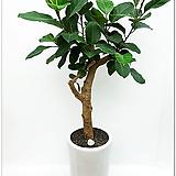 청뱅갈 고무나무|Ficus elastica