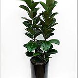 고무나무|Ficus elastica