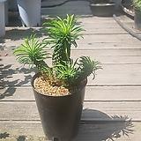괴마옥|Euphorbia hypogaea