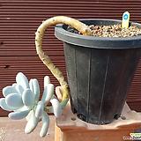 홍미인 묵은둥이 0749|Pachyphytum ovefeum cv. momobijin