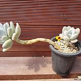 오비포럼 묵은둥이 0720|Pachyphytum oviferum