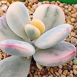 방울복랑금자구2개|Cotyledon orbiculata cv variegated