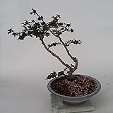 소엽배롱나무(완성분)|