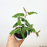 레몬유칼립투스 / 유칼립투스 / 공기정화식물 / 한빛농원|