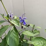 (단품)나비수국|Hydrangea macrophylla