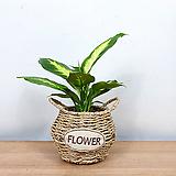 마리안느 바구니 세트 / 공기정화식물 / 한빛농원|