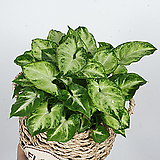 싱고니움 바구니 세트 / 신고니움 / 공기정화식물 / 한빛농원|