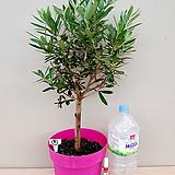 올리브나무(외목대품/A)-동일품배송 