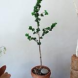 바로크벤자민 빈티지토분세트+분갈이서비스(예쁜잎장과 예쁜외목수형)약 45~50cm 