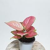 사랑스런 핑크 지리홍 아글레오네마 아글레오마 실내식물 음지식물