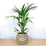 아레카야자 중형 바구니 세트 / 공기정화식물 / 한빛농원|